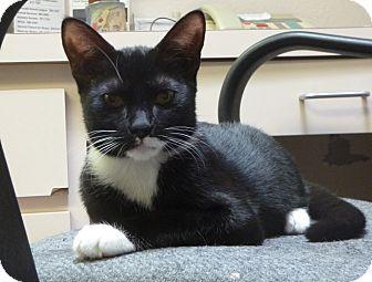 Domestic Shorthair Kitten for adoption in St. Petersburg, Florida - Tisha