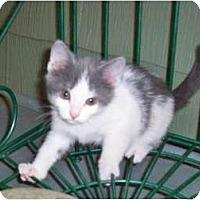Adopt A Pet :: Gadget - Sterling Hgts, MI