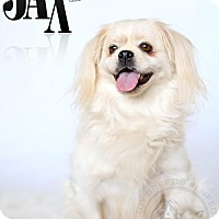 Pekingese Mix Dog for adoption in Frederick, Maryland - Jax