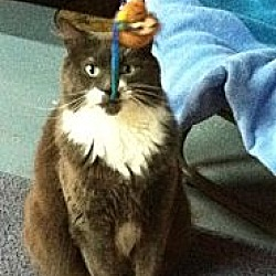 Photo 2 - Maine Coon Cat for adoption in Lake Ronkonkoma, New York - Roxy
