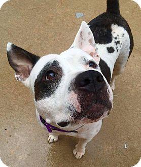 Pit Bull Terrier Mix Dog for adoption in Wichita, Kansas - Wednesday