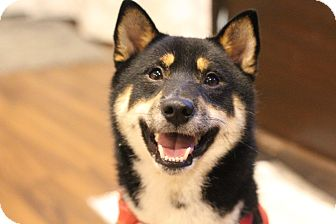 Shiba Inu Puppy for adoption in Manassas, Virginia - Hanabi