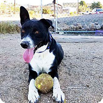 Australian Cattle Dog/Border Collie Mix Dog for adoption in Wickenburg, Arizona - Harley
