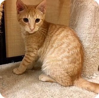 Domestic Shorthair Kitten for adoption in Houston, Texas - Noble
