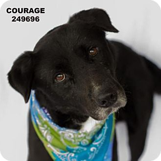 Labrador Retriever Dog for adoption in Conroe, Texas - COURAGE