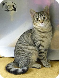 Domestic Shorthair Kitten for adoption in Marlinton, West Virginia - Andy