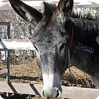 Adopt A Pet :: Moe - Phelan, CA