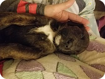 Rottweiler Mix Puppy for adoption in Garden City, Michigan - Marilyn Monroe