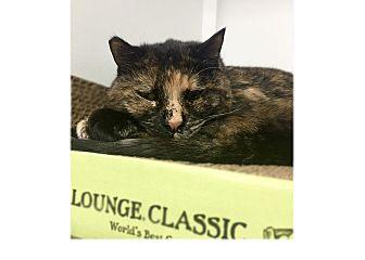 Domestic Shorthair Cat for adoption in San Carlos, California - Lovey