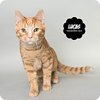 Adopt A Pet :: Lucas - Wyandotte, MI