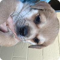Adopt A Pet :: Kris Kringle - McDonough, GA