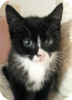 Domestic Shorthair Kitten for adoption in Horsham, Pennsylvania - Freckles