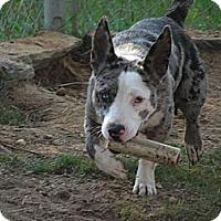 Adopt A Pet :: Dottie - Richmond, VA