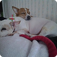 Adopt A Pet :: CENT & PATCH - Dix Hills, NY