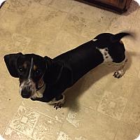 Adopt A Pet :: Buster Brown - Marcellus, MI