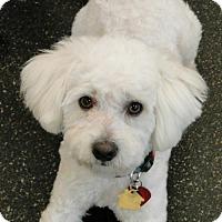 Adopt A Pet :: Peetie - Walnut Creek, CA