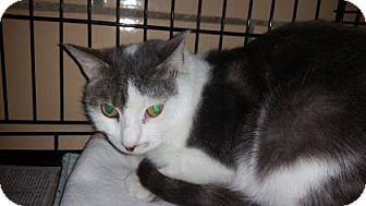 Domestic Mediumhair Cat for adoption in Renfrew, Pennsylvania - Pouncequick