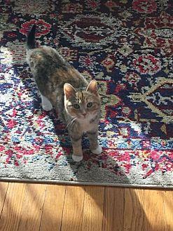 Domestic Shorthair Kitten for adoption in New City, New York - Kit Kat