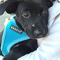 Adopt A Pet :: Patty-ADOPTION PENDING - Boulder, CO