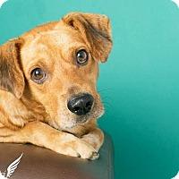 Adopt A Pet :: Brownie - Roanoke, VA