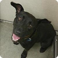 Adopt A Pet :: Zamora (cookie Monster) - Neosho, MO