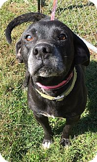 Labrador Retriever/Beagle Mix Dog for adoption in Morehead, Kentucky - Lazlo