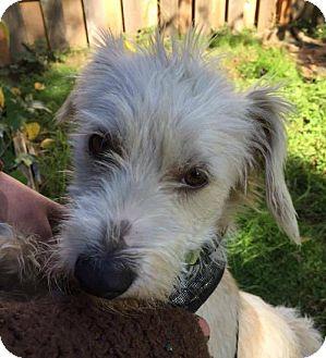 Irish Terrier Mix Dog for adoption in Portland, Oregon - Vincent