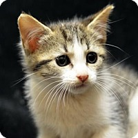 Domestic Shorthair Kitten for adoption in Atlanta, Georgia - Jack-O	161884