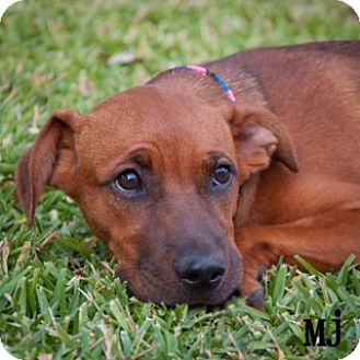 Redbone Coonhound Mix Puppy for adoption in Plano, Texas - MJ