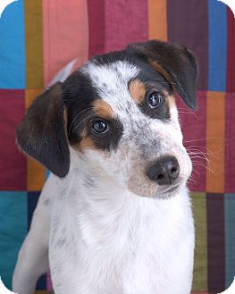Australian Cattle Dog/Labrador Retriever Mix Puppy for adoption in Sudbury, Massachusetts - Rudy