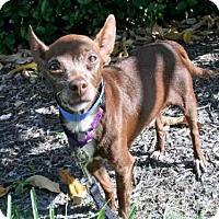 Adopt A Pet :: CHOCOLATE - West Palm Beach, FL