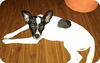 Rat Terrier Mix Dog for adoption in Houston, Texas - Festus