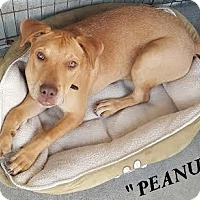 Labrador Retriever/Staffordshire Bull Terrier Mix Puppy for adoption in El Cajon, California - Peanut