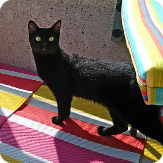 Domestic Shorthair Cat for adoption in Mississauga, Ontario, Ontario - Diandra