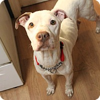 Adopt A Pet :: Callie - Broadway, NJ