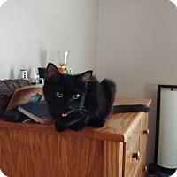 Adopt A Pet :: Raven - Berkeley Hts, NJ