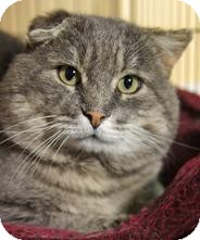 Domestic Shorthair Cat for adoption in Medford, Massachusetts - Spuds