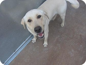 Labrador Retriever Dog for adoption in Largo, Florida - Tanner