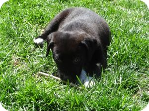 Anatolian Shepherd Mix Puppy for adoption in Marlton, New Jersey - baby Torro