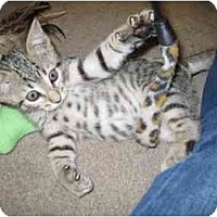 Adopt A Pet :: Krishna - Davis, CA