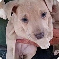 Adopt A Pet :: Beluga - Gainesville, FL