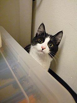 Domestic Shorthair Kitten for adoption in Capshaw, Alabama - Panda
