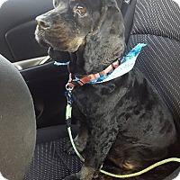 Adopt A Pet :: Blackie - Ogden, UT