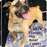 Adopt A Pet :: Chata - El Cajon, CA