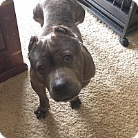 Adopt A Pet :: Lola-ADOPTION FEE SPONSORED! - Lincoln, CA