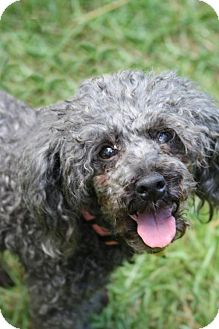 Poodle (Miniature) Mix Dog for adoption in Alpharetta, Georgia - Patrice