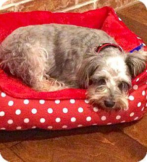 Miniature Schnauzer/Yorkie, Yorkshire Terrier Mix Dog for adoption in Santa Fe, Texas - Princess