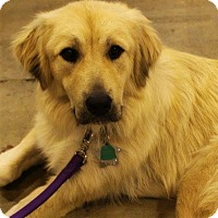 Adopt A Pet :: Honey - Kyle, TX