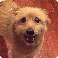 Adopt A Pet :: Rusty **Adoption Pending** - Fairfax, VA