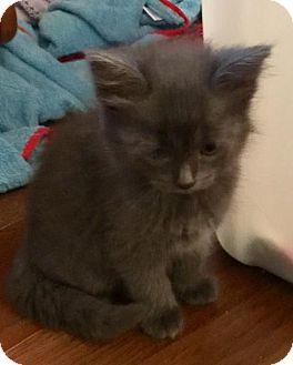 Domestic Mediumhair Kitten for adoption in Columbus, Indiana - Daria